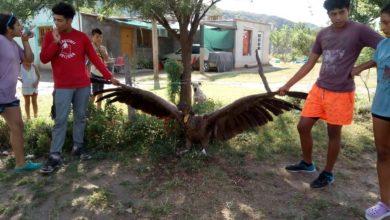 Photo of Un grupo de niños vallistas rescató un cóndor andino