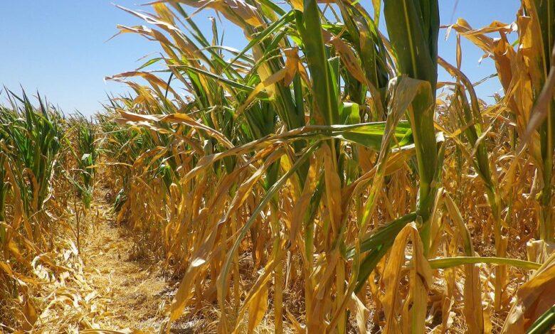 Photo of El Gobierno deja sin efecto las restricciones a la exportación de maíz